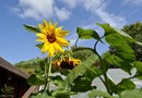 sunflowers growing at Greenfields
